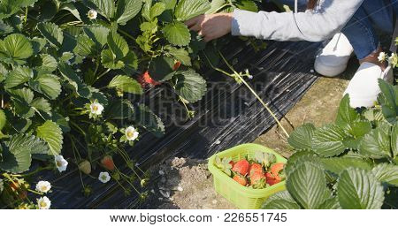 Woman picking Strawberry in field row