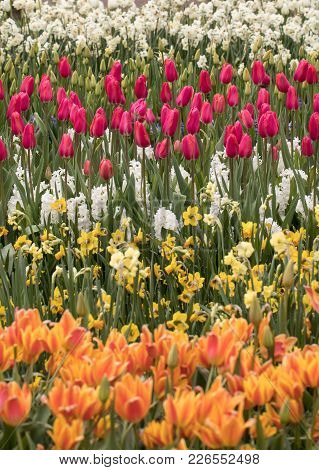 Tulip Fields In The Bollenstreek, South Holland, Netherlands