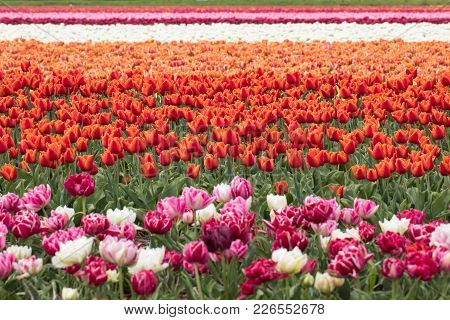 Tulip Fields Of The Bollenstreek, South Holland, Netherlands