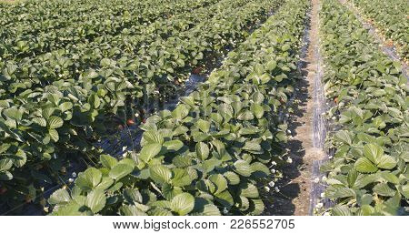 Fresh strawberry field