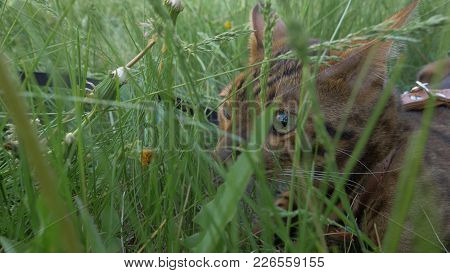 Bengal Cat Walks In The Grass. He Shows Different Emotions. The View Of The Animal Is Very Close To