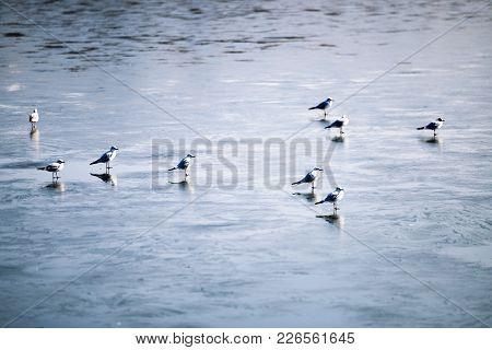 Flock Of Birds Walking On Frozen Winter Lake
