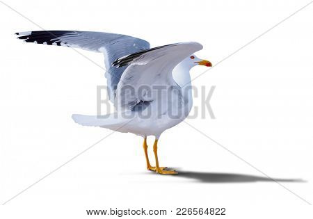 sea gull standing on his feet. seagull . Isolated over white.  gull with spread wings