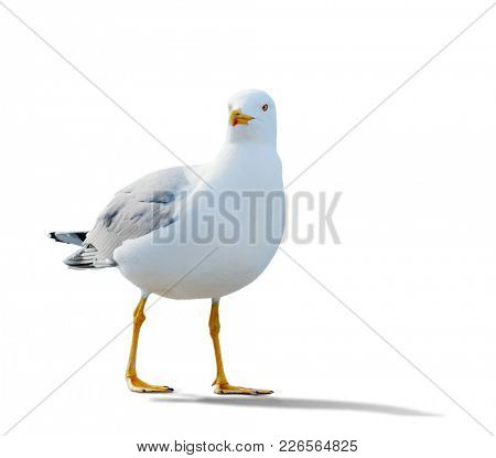sea gull standing on his feet. seagull . Isolated over white.  the gull is walking slowly