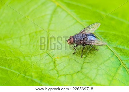 Blue Meat Fly Insect On The Green Leaf In Nature. Blue Bottle Fly. Natural Background With Selective