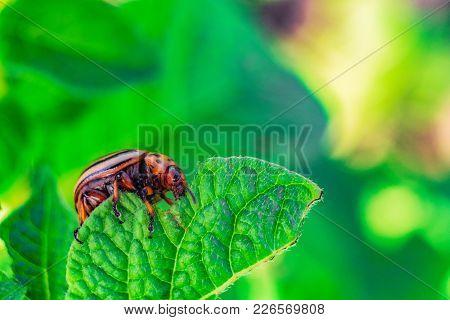 Colorado Potato Beetle Eats Green Potato Leaf. Garden Pest Insect. Natural Green Gardening Backgroun