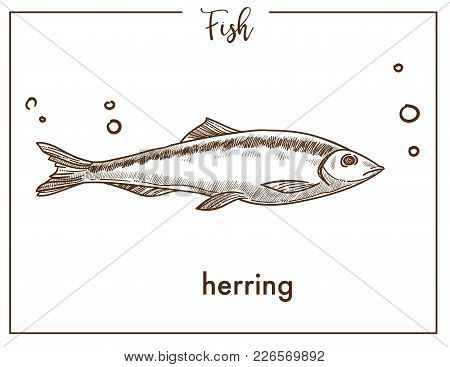 Herring Sketch Fish Icon. Vector Isolated Clupea Herrings Species Fish Sketch For Fishing, Seafood F