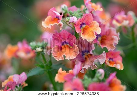 A Macro Shot Of The Colorful Nemesia Flowers