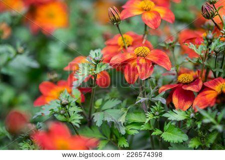 A Macro Shot Of The Bidens Ferulifolia Or Beedance Painted Red Flower