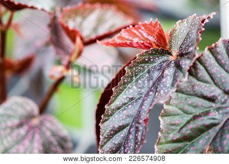 A Macro Shot Of The Begonia Motley Leaves
