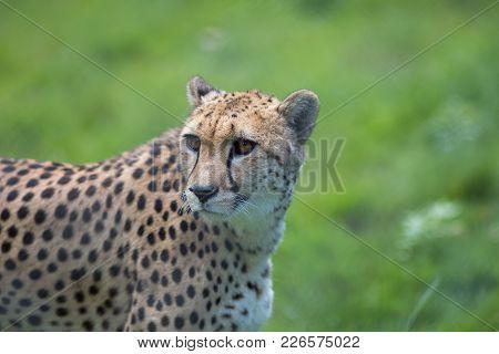 Cheetah. Beautiful African Wildlife Big Cat Portrait Image. Magnificent Healthy Adult Cheetah (acino