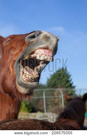 Horse Laughing. Funny Animal Meme Image Of A Horse Neighing. Close-up Of Horses Teeth And Mouth As I