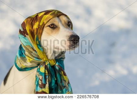 Outdoor Portrait Of Mixed-breed Dog Wearing Shawl At Sunny Winter Day