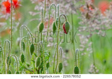 Poppy - Red Flowers On A Summer Meadow