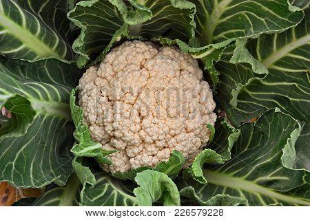 Plant Of Cauliflower In Vegetable Garden, Typical Ingredient Of Mediterranean Cuisine