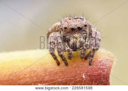 Carrhotus Sannio (female) Or Jumping Spider On Stem