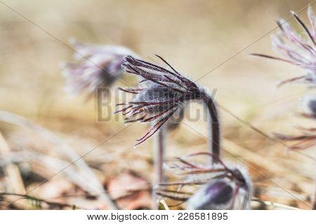 Eastern Pasqueflower, Prairie Crocus, Cutleaf Anemone