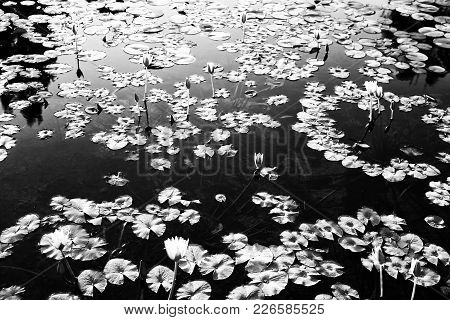 A Pattern Of Water Lilies In The Pond