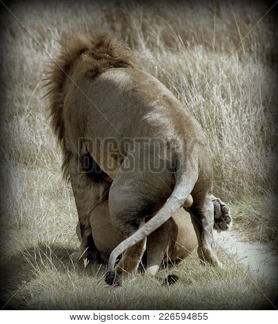 Couple Of Lions In The African Sabana