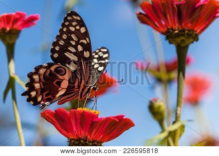 Butterfly Drinking Nectar From Flower. Citrus Swallowtail Butterfly Drinking From Flower. South Afri