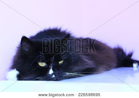 Black Cat Lays And Slumbers On The Pink Tender Background