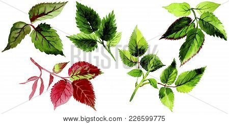 Leaves Of Rose In A Watercolor Style Isolated. Aquarelle Leaf For Background, Texture, Wrapper Patte