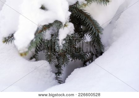 Blue Spruce In The Forest, Fluffy Snow On The Spruce Branches. Background Textures