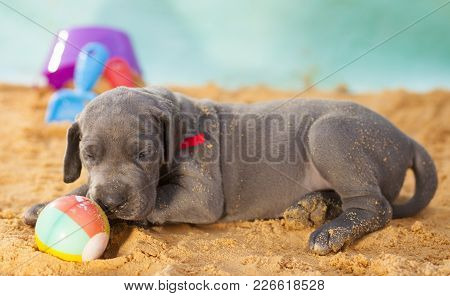 Purebred Great Dane Puppy Nearly Asleep On Its Ball In The Sand