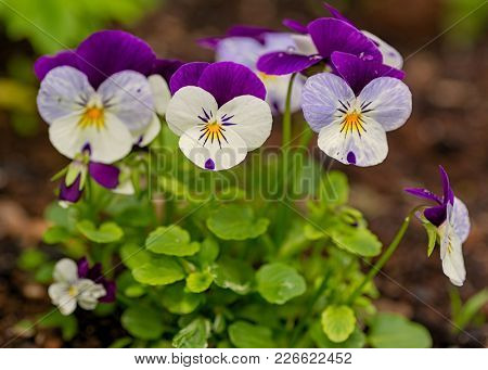 Pretty violas flowering in the home garden.