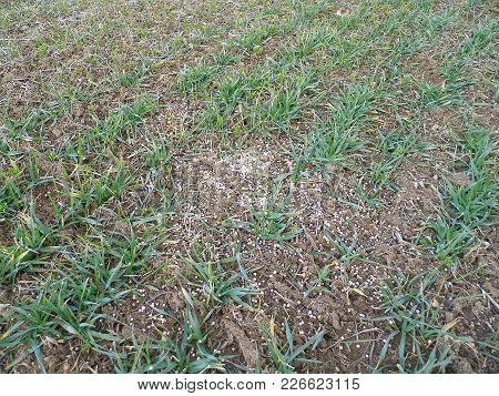 Chemical Fertilization, Fertilization Of Agricultural Fields, Fertilized Wheat And Barley Fields,
