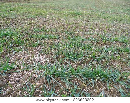 Chemical Fertilization, Fertilization Of Agricultural Fields, Fertilizer Thrown Wheat And Barley Fie