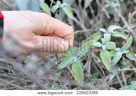 Common Sage (salvia Officinalis) Aromatic Herb And Spice. Hand Pick Up Salvia Plant On Mountain