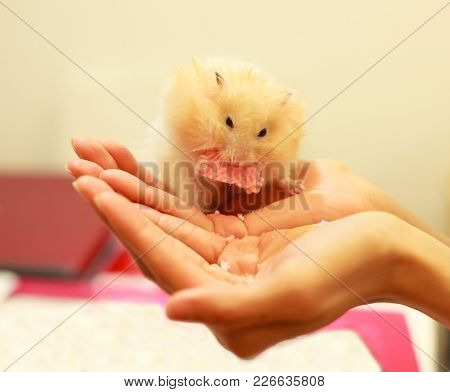 Front View Of Cute Orange And White Syrian Or Golden Hamster (mesocricetus Auratus) Eating Snack Foo