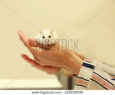 Cute Winter White Dwarf Hamster Eating Walnut On Owner's Hands. The Winter White Hamster Is Also Kno