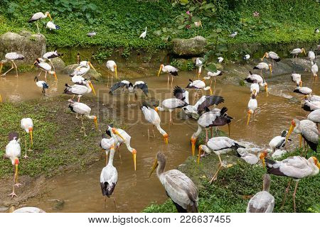 Yellow Billed Stork Looking For Food In The River