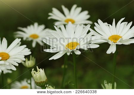 Beautiful White Camomiles Or Daisies On A Green Meadow .