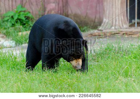 Sun Bear Big Black Bear On Green Grass