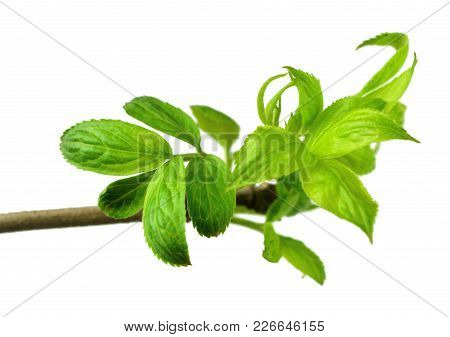 Tender Spring Foliage. Close-up. Elderberry Leaves On A Branch. Nature Awakens After Winter Sleep. I