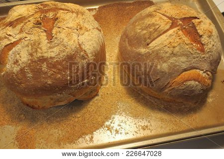 Two Round Loaves Of Fresh Baked Rustic White Bread On Baking Sheet Dusted With Cornmeal