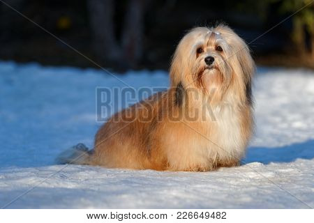 Beautiful Show Champion Havanese Female Dog Sitting In A Snowy Park