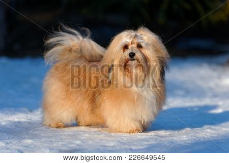 Beautiful Show Champion Havanese Female Dog Stands In A Snowy Park In Winter