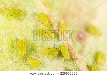 Extreme Magnification - Green Aphids On A Plant .