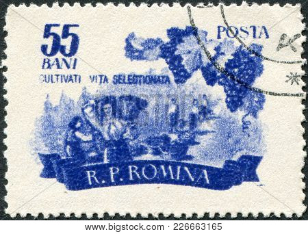 Romania - Circa 1955: A Stamp Printed In The Romania, Shows The Harvest Of Grapes, Circa 1955