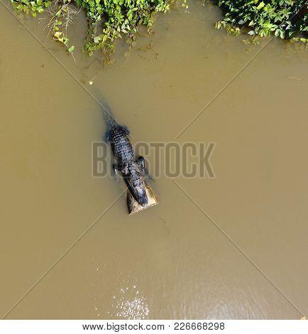 Juvenile American Alligator Resting In The Sun Light