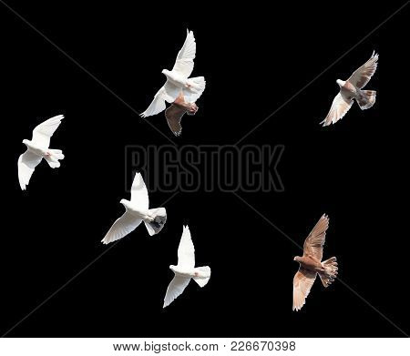 Flock Of Pigeons On A Black Background .
