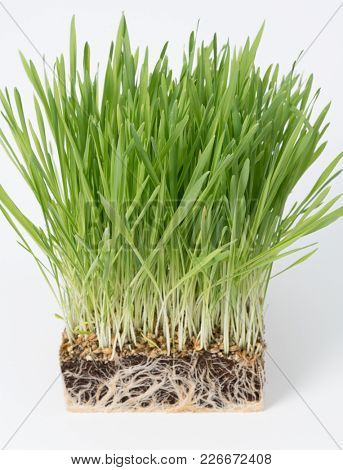 green plant grass with a piece of the soil. Study of soil microflora