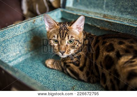 Cat In A Suitcase - Cat Laying Inside Travel Luggage - Bengal Cat