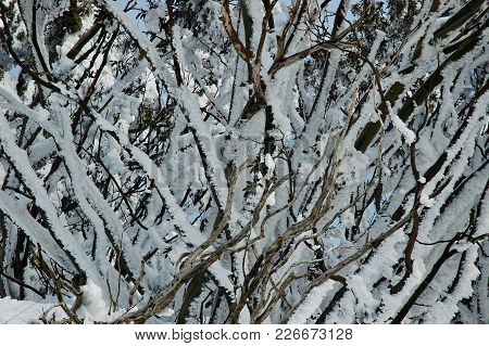 A Close-up Of Snow-covered Trees. A Blue Sky Is Just Visible Through The Branches. The Inter-weaving