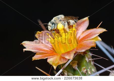A Macro Photo Of A Solitary Cactus Bee Native To Arizona Staking A Claim To A Cactus Flower Even Tho