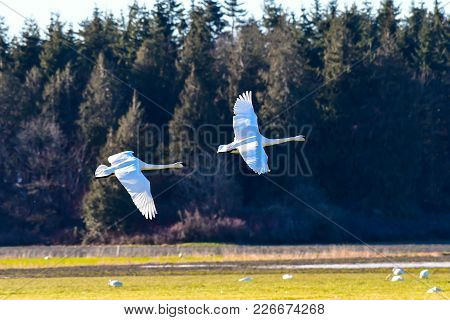 Trumpeter Swan In Flight Against Clear Blue Sky Over Skagit Valley, Wa